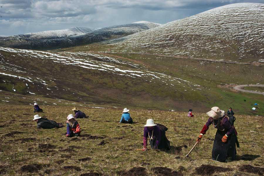 Thu hoạch nấm đông trùng hạ thảo ở Tây Tạng